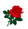 red rose isolated on a white background vector image vector image