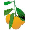 three mandarins vector image vector image
