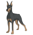 Color image of a Doberman vector image vector image