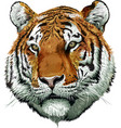 tiger face color vector image
