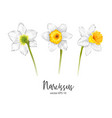 daffodil narcissus flower set vector image vector image
