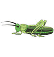 green grasshopper on a white background vector image vector image