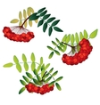 Set of rowan berries with leaves isolated on the vector image vector image