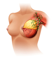 Breast Anatomy vector image vector image