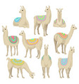 graceful white llama set alpaca animal in vector image