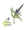 printmedecenal herb - veronica longifolia vector image