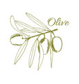 branch olives sketch vector image vector image