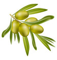 a branch of green olives vector image vector image