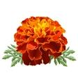 marigold tagetes vector image