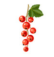 branch of red currant vector image vector image