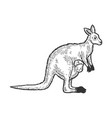 kangaroo with human basketch engraving vector image vector image