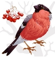 bullfinch and ash berry vector image vector image