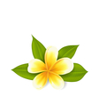 Frangipani with leaves exotic flower isolated on vector image vector image