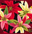 seamless poinsettia flowers vector image