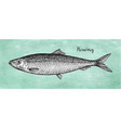 ink sketch of herring vector image vector image
