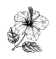 hibiscus flower with leaves botanical hand drawn vector image