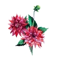 Dahlia flowers watercolor vector image