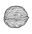 walnut nut sketch engraving vector image