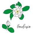 gardenia jasminoides cape jasmine vector image vector image