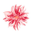 coral daisy flower on a white background isolated vector image vector image