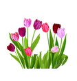 tulips spring nature vector image