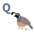 abc english alphabet letter q quail bird cute vector image