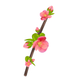 Branch of Japanese Quince Chaenomeles japonica in vector image