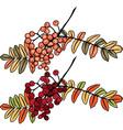 Autumn rowan berry branch vector image