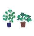 schefflera plant growing in pot houseplant set vector image vector image