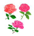 three flower pink rose twig with leaves vector image
