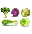 cabbage realistic set vector image