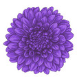 beautiful dahlia isolated on white background vector image vector image