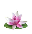 Water lily nenuphar spatter-dock pink lotus on