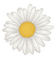 beautiful white daisy flower isolated vector image vector image