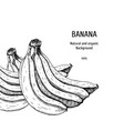 hand drawn background with banana vintage vector image