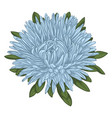 beautiful blue aster isolated on white background vector image vector image