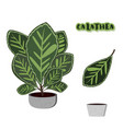 calatheas set on cement flowerpot vector image