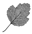 manually drawn leaf skeleton vector image vector image