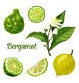bergamot orange fruit slice kaffir lime plant vector image