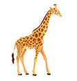 Giraffe standing isolated