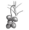 cluster fruits juglans ailantifolia vintage vector image vector image