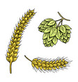 barley and wheat malt and hops beer of vector image vector image