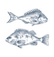pike and common european perch fish sketch poster vector image