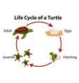diagram showing life cycle sea turtle vector image vector image