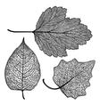 set skeletonized leaves vector image
