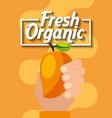 hand holding fresh organic fruit mango vector image