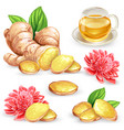set of a fresh ginger root vector image