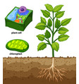 diagram showing plant cell and tree in ground vector image