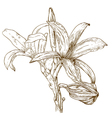 engraving lily vector image vector image