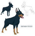 dobermann standing and panting with tongue out vector image